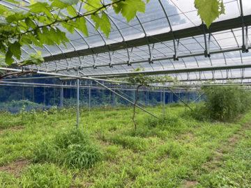 (株)共走|千葉県の施工実績|ぶどう棚・雨よけハウス(163坪)の画像