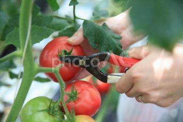 (株)共走|群馬県の施工実績|トマト用軽量鉄骨ハウス(829坪)の画像